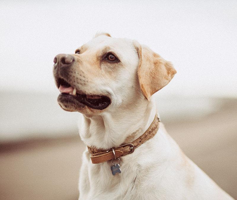 labrador-chien-animauxdecompagnie-elixirspouranimaux